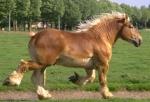 Ukraina.Ciezkie konie wlodzimierskie o duzej masie 3 zl/kg