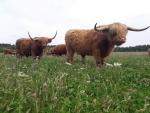 Szkockie Bydło Mięsne Highland