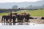 Ukraina.Konie hodowlane,ogiery,klacze,rysaki 900 zl