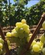 Węgierskie winogrona z tokajskich szczepów