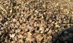 Gryka ekologiczna nasiona uprawa ekologiczna z certyfikatem