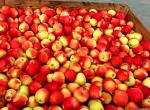 Kupię jabłka przemysłowe w ilościach hurtowych