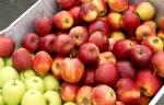Kupię jabłko Bio czerwone i Golden Del